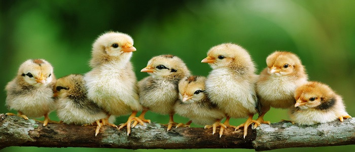 chickens_chicks_baby